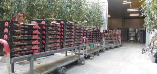 Работа в Польше на сбор помидоров